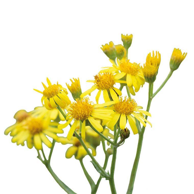 Goldenes Kreuzkraut [Pascofemin-Injektopas]