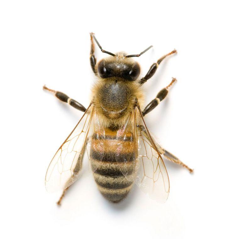 Honigbiene [Pascodem]