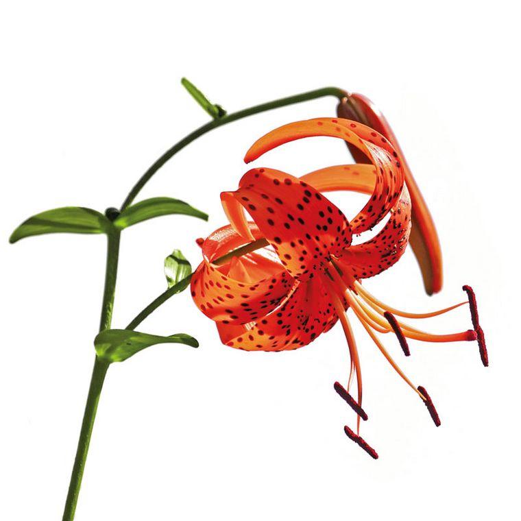 Tigerlilie [Pascofemin Tabletten]
