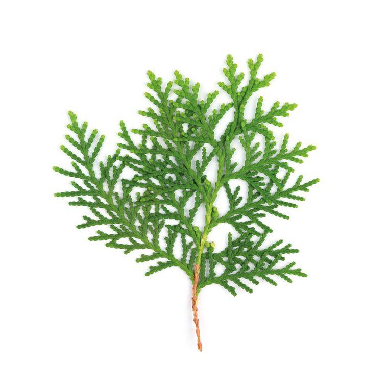 Lebensbaum [Pascoleucyn Tabletten]