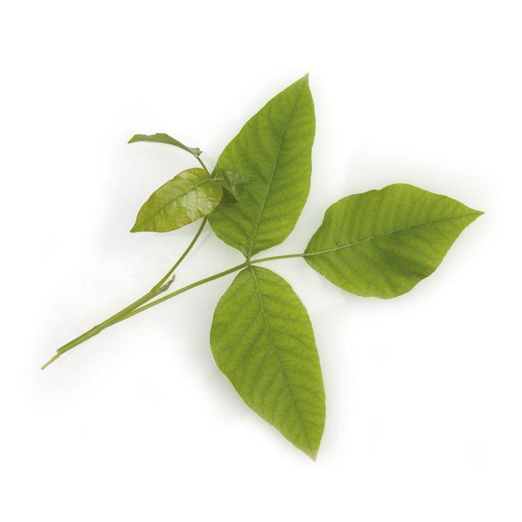 Giftsumach [Gnaphalium-Injektopas en]
