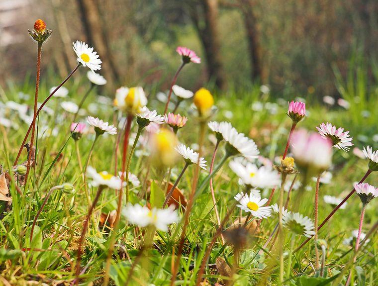 Pflanze Gänseblümchen