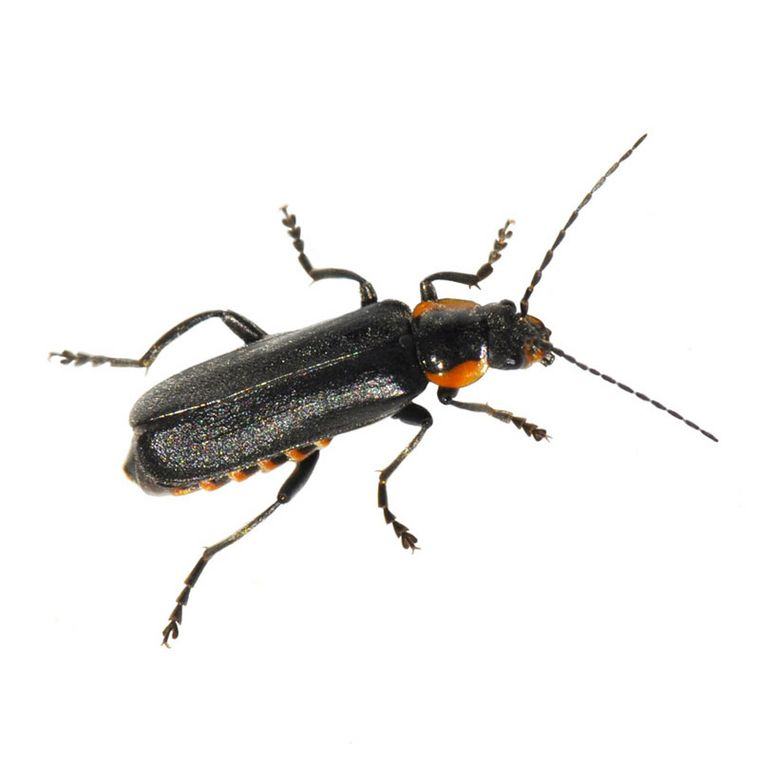 Spanische Fliege [Pascorenal-Injektopas]