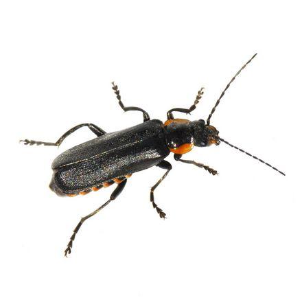 Spanische Fliege [Pascorenal-Injektopas en DE]