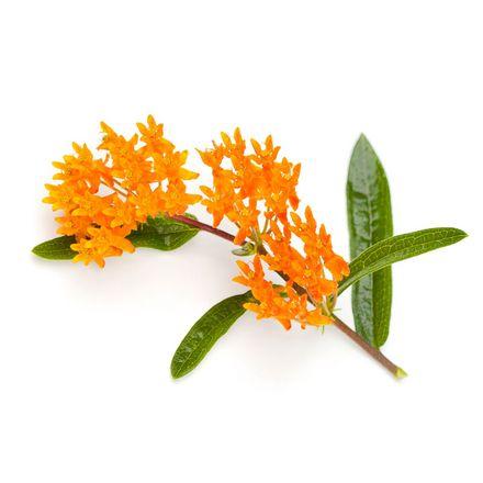 Knollige Seidenpflanze [Neuralgie-Injektopas DE]
