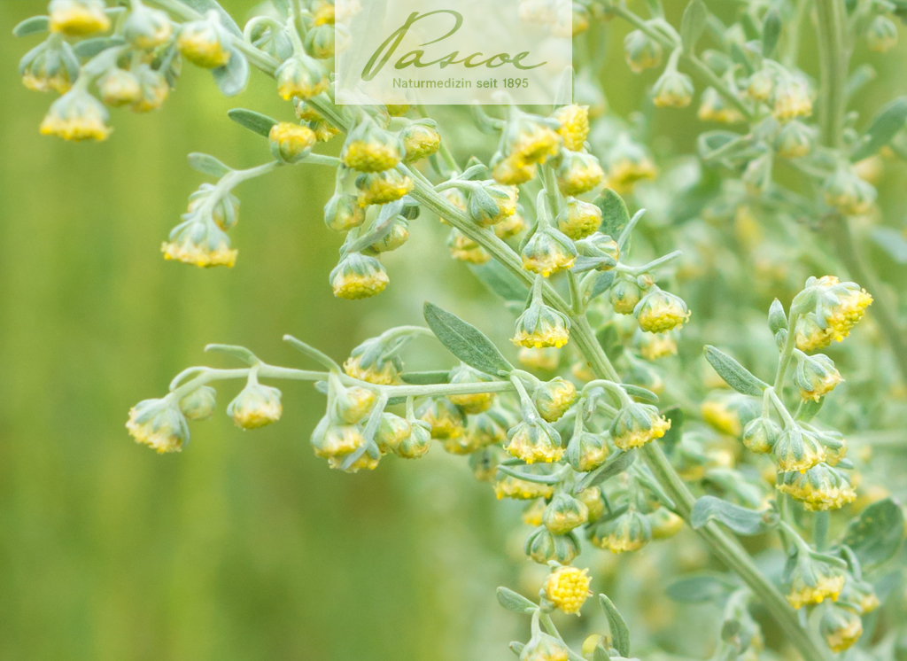 Artemisia vulgaris (Beifuß)