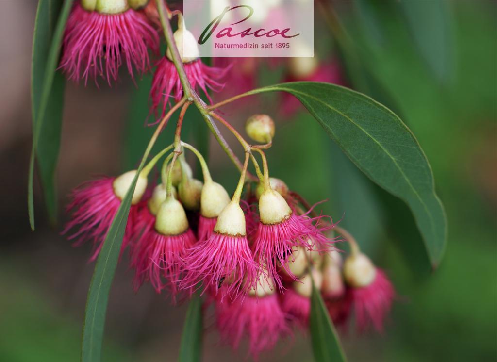 Fieberbaum Eukalyptus