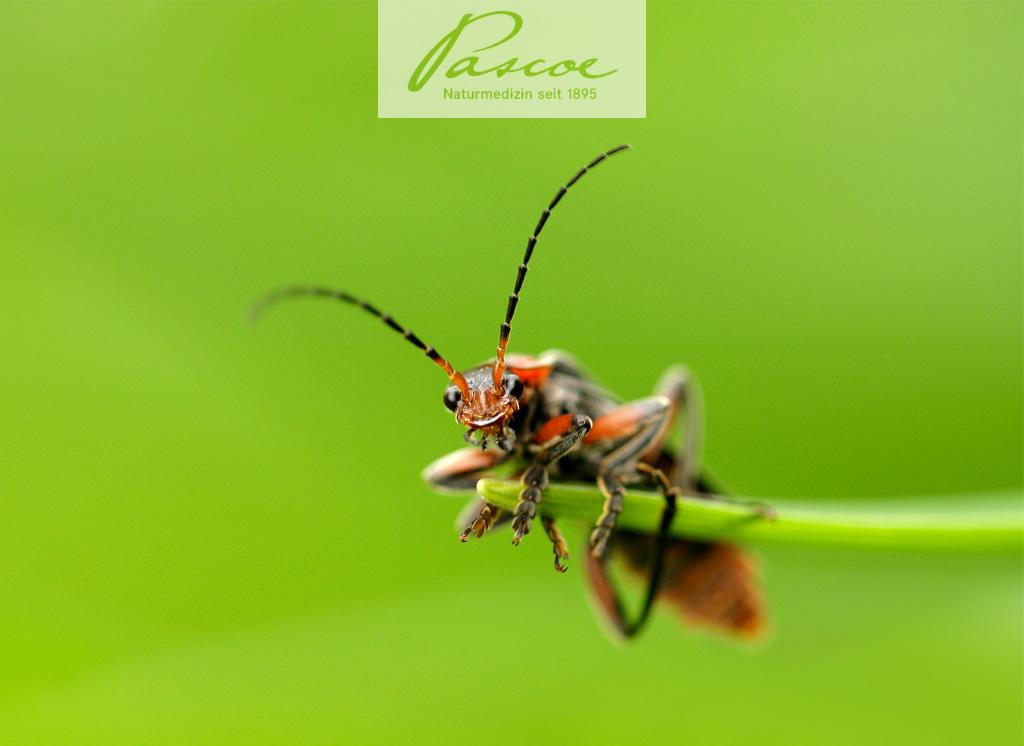 Cantaris - die spanische Fliege