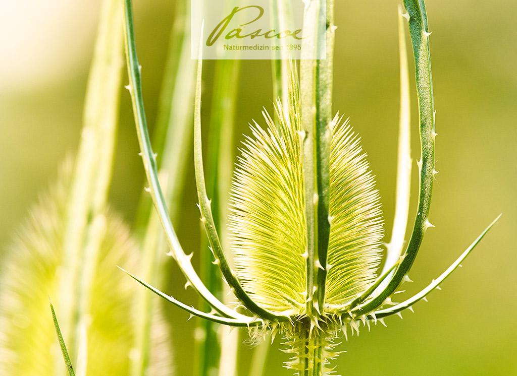 Wilde Karde: Ist die Pflanze tatsächlich eine Distel?