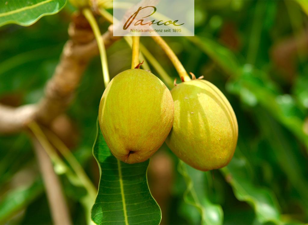 Sheabutter: Der Schatz des Karitébaums